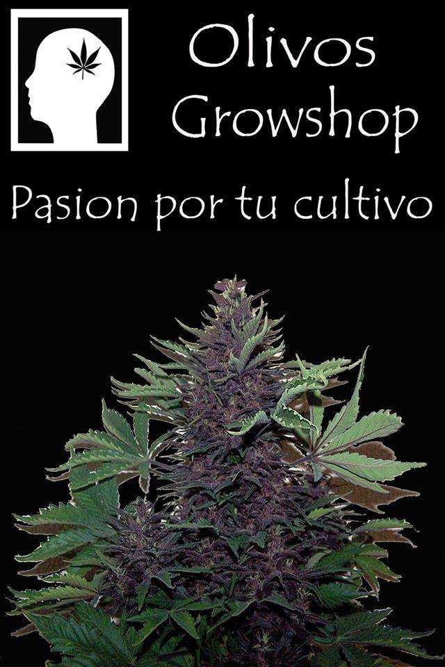 olivos grow 4